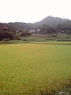 稲のジュウタン