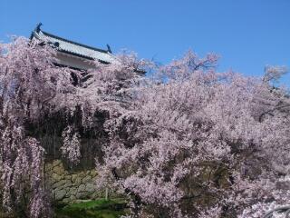 千本桜まつり♪